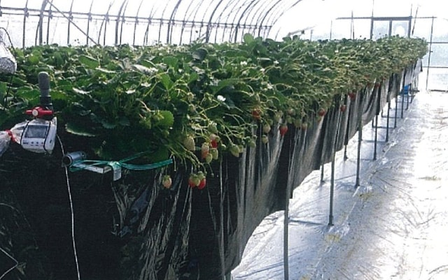 苺高設栽培